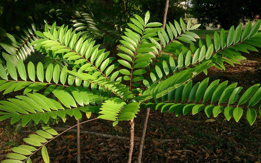 What Is Eurycoma longifolia (or Tongkat Ali)?